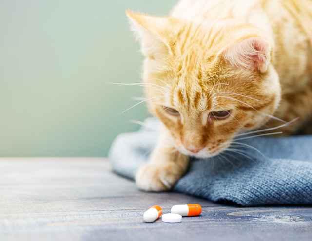 Как правильно применять ацилок в ампулах для кошки: обзор инструкции