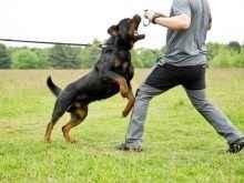 Как дрессировать щенка и взрослого ротвейлера самостоятельно дома