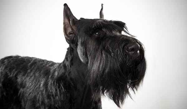 Описание внешности и поведения ризеншнауцеров: уход и кормление породы собак