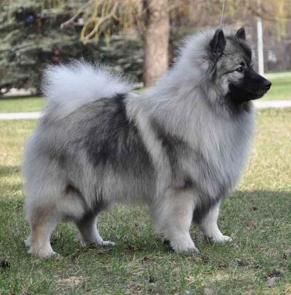 Характеристика собак породы голландских и немецких кеесхонд вольфшпицев