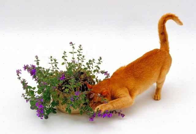 Описание и свойства кошачьей мяты, примеры как использовать и для чего она нужна