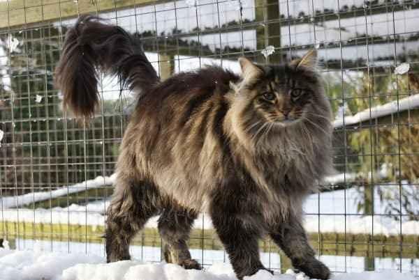 Варианты очень пушистых красивых кошек: породы лохматых и мохнатых питомцев