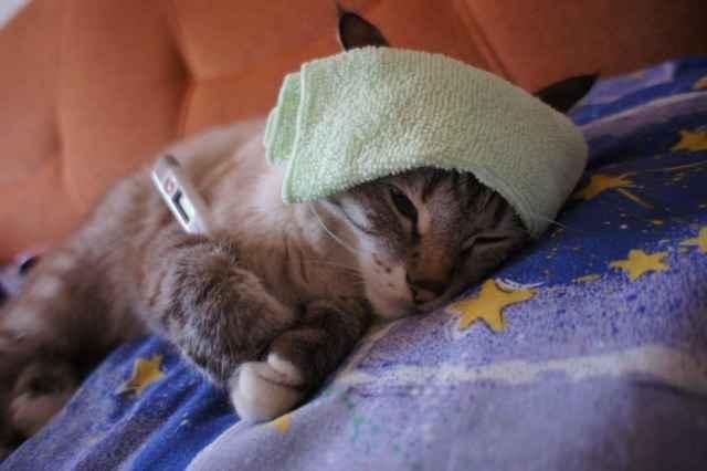 Молоко для кошек: необходимость взрослым и новорожденным, польза для котят