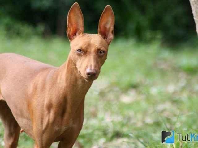 Характеристика собак Чирнеко дель Этна: особенности сицилийской борзой породы