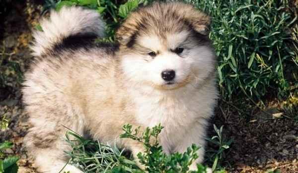 Интересно об аляскинских маламутах: характеристика и особенности породы собак