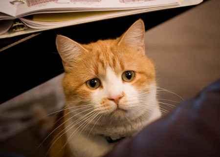 Основные причины почему коты могут дышать как собаки: высовывая язык и часто