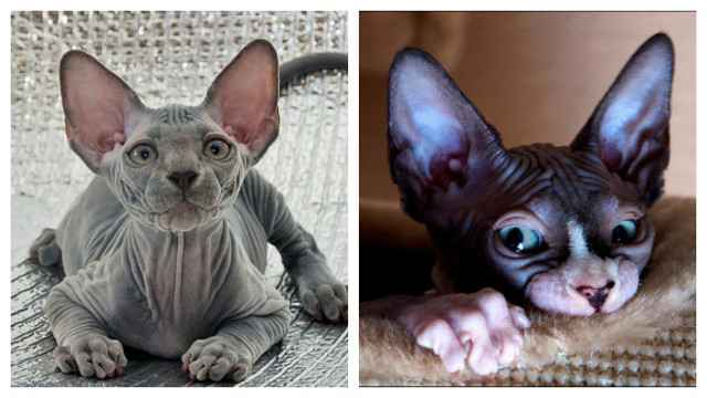 Описание породы кошек сфинкс: особенности характера и разновидности