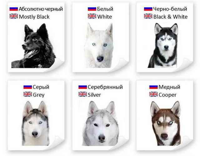 Какие существуют виды окрасов хаски: белые, черные, коричневые и другие
