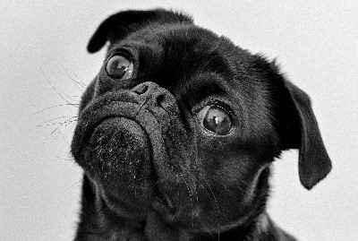 Как выглядят ло ши мопсы: подробное описание внешности мини породы собак