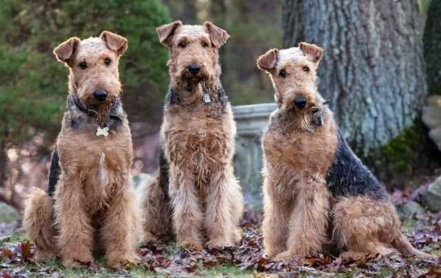 Как выглядит порода собак эрдельтерьер: внешность и поведение питомцев