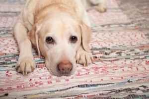 Как правильно измерять температуру тела собаки обычным ртутным градусником