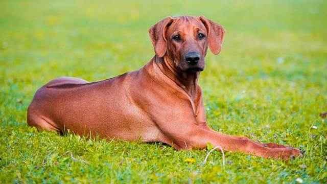 Характеристика родезийских риджбеков: особенности этой породы собак