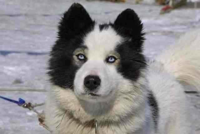 Подробный обзор якутских лаек: внешний вид, характер и содержание породы