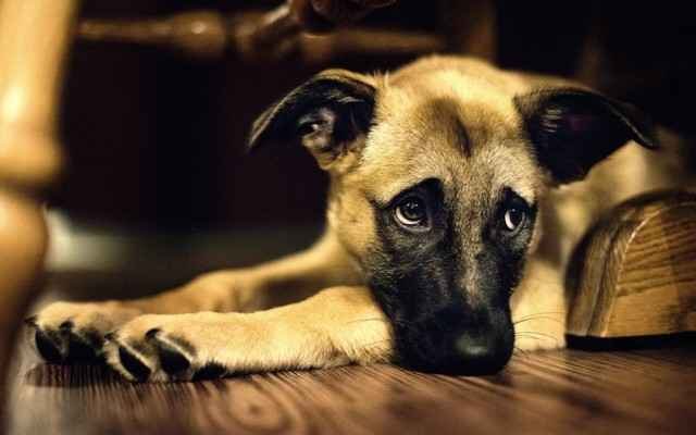 По каким причинам у собак могут появляться выделения из петли после течки