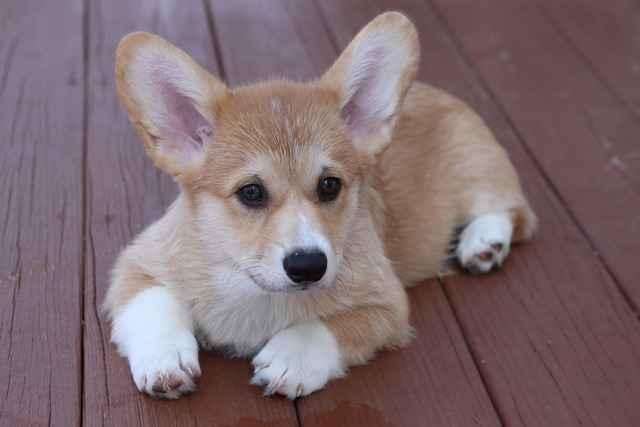 Оптимальное питание вельш-корги пемброк: рацион для взрослых и щенков