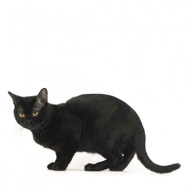 Кошки бомбейские: описание породы, характер, особенности ухода, история