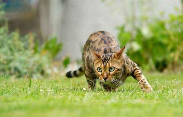 Кошки бенгальские: описание породы, характер, особенности ухода, история