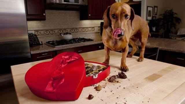 Можно ли собаке кушать шоколадные изделия: что будет и что сделать если съела