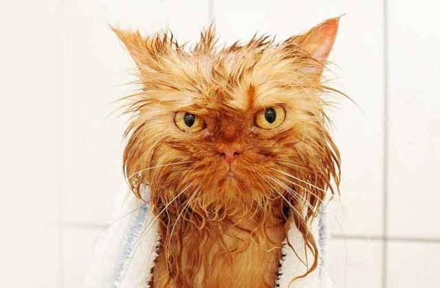 Почему коты трясут головами и чешут уши: что делать в таком случае