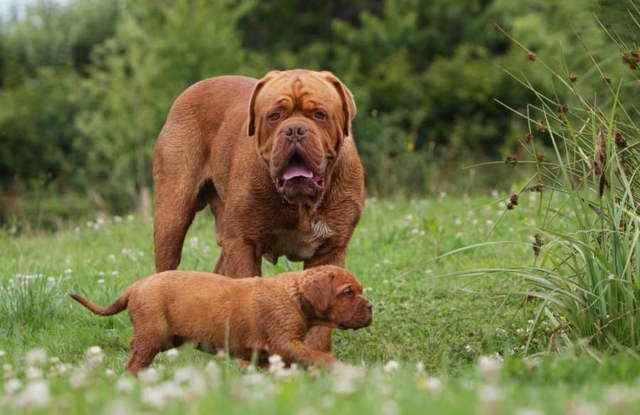 Какие породы собак являются самыми большими в мире на сегодняшний день
