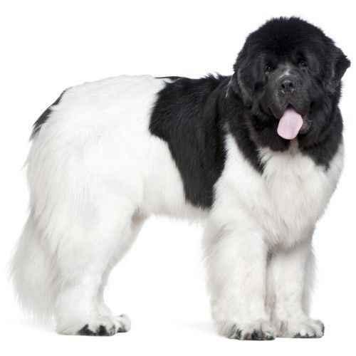 Честный рейтинг самых добрых и умных пород собак во всем мире по отзывам