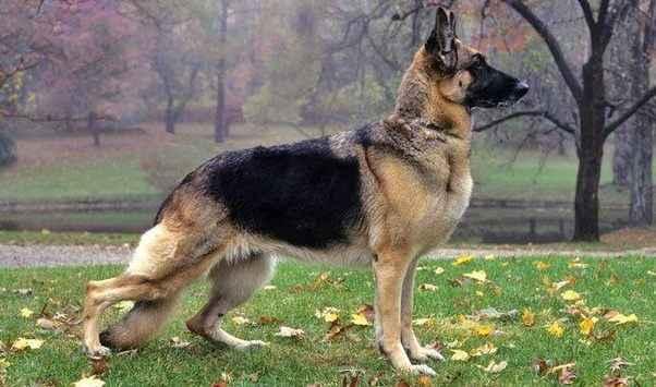 Характеристики щенков и взрослых собак немецких овчарок: внешность и характер