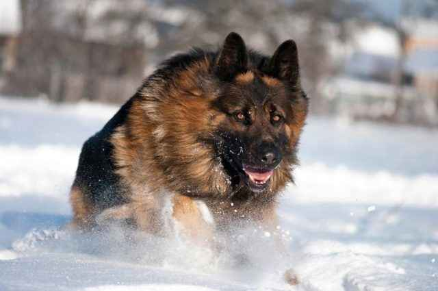 Советы по выбору щенков породы немецкая овчарка: главные отличия от дворняг