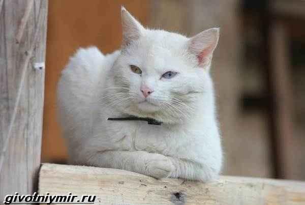 Кошки као-мани: описание породы, характер, особенности ухода, история