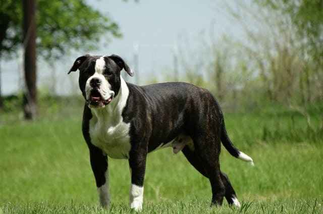 Подробное описание внешности и характера породы собак аланский дог