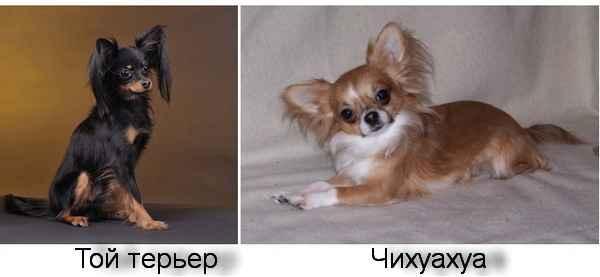 Чем отличаются друг от друга той терьеры и той чихуахуа: сравнение