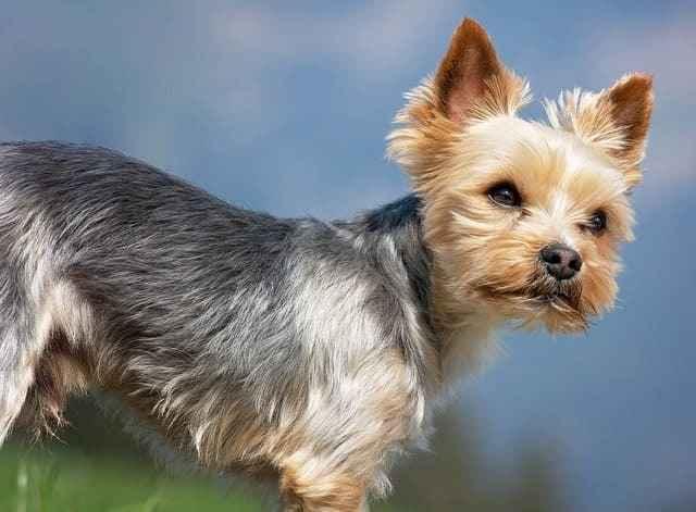 Лучшие имена собак для йоркширских терьеров: какую дать кличку щенку
