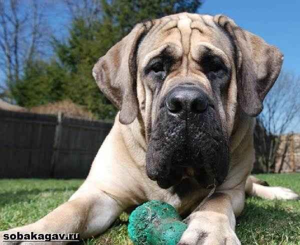 Особенности английских мастифов: описание внешности породы и характера собак