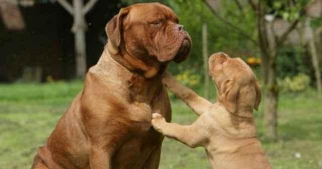 Кто такие собаки молоссы: полный перечень и особенности этих пород