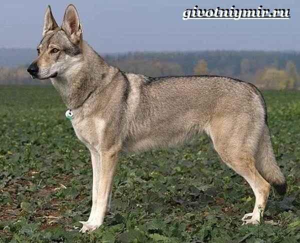 Как выглядят русские, юланские или сарлосские вольфхунды: характеристика породы