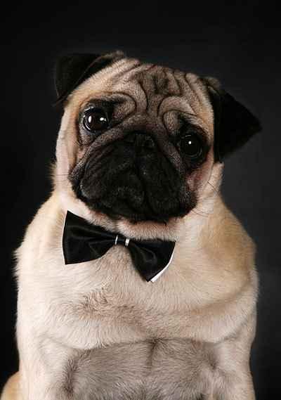 Описание внешности и характера щенков и взрослых мопсов: все о породе