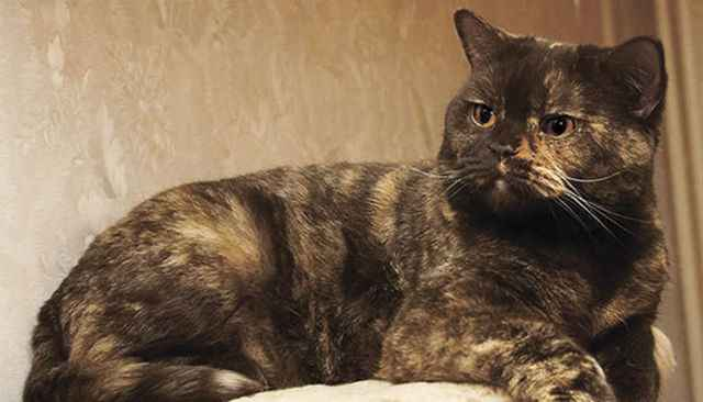 Какие существуют варианты расцветок у британских котов: описание всех видов