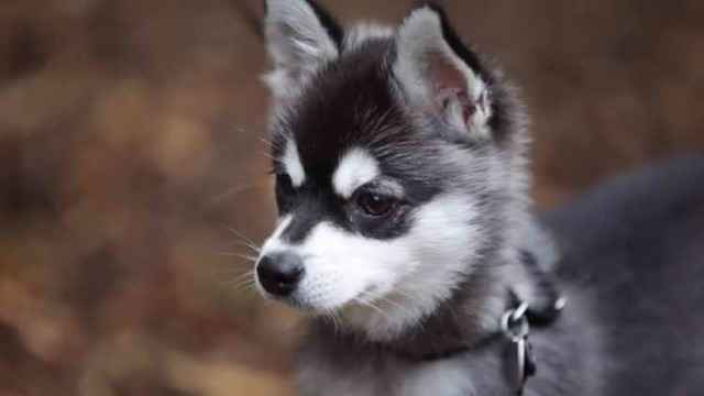 Какие породы собак внешне похожи на хаски но больше или меньше размером