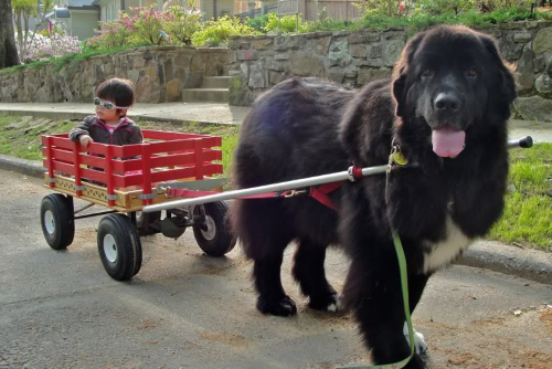 Все о собаках водолазах: характер и внешний вид породы ньюфаундленд
