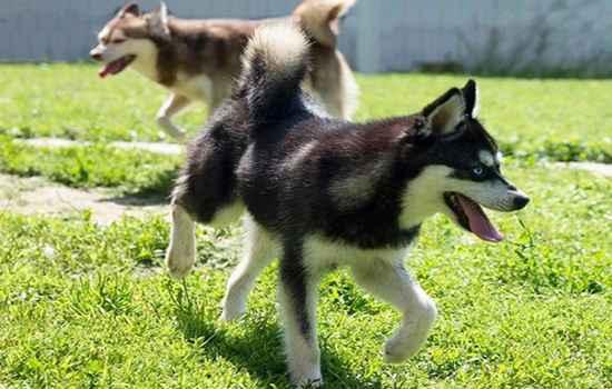 Интересно об аляскинских кли каях: особенности собак «мини хаски»