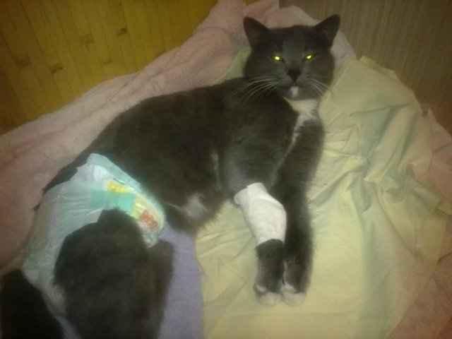 Все о вирусном перитоните у котов: симптоматика и способы лечения