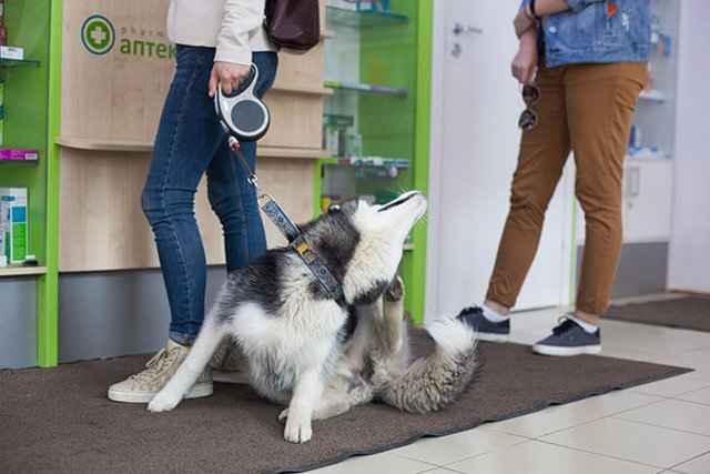 Почему собака может чесаться и грызть себя, при этом у нее отсутствуют блохи