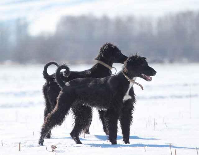 Как выглядит собака тайган: подробное описание киргизской борзой породы