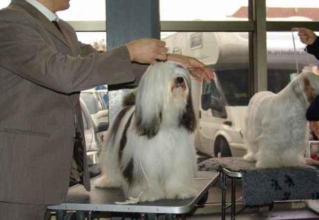 Как выглядят щенки и взрослые тибетские терьеры: внешность и характер