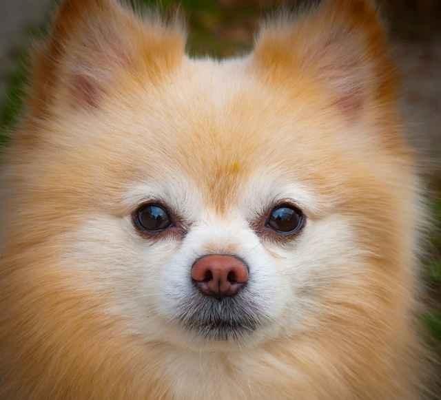 Обзор самых красивых маленьких карманных собачек с пушистым покровом
