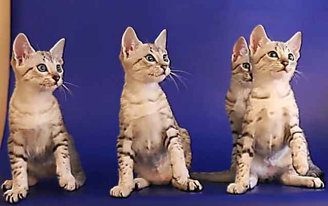 Кошки мау из Египта: описание породы, характер, особенности ухода, история