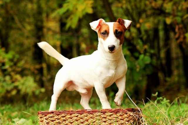 История собаки Майло, которая снималась в фильме «Маска»: особенности породы