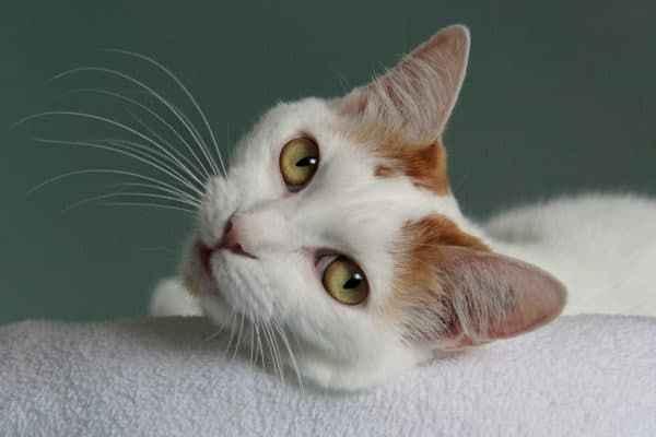 Методики лечения демодекоза у кошки препаратами и симптоматика заболезвания