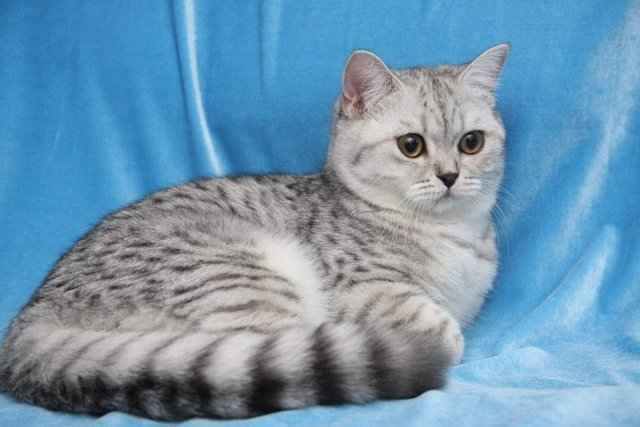 Кошки британские длинношерстные: описание породы, характер, особенности ухода