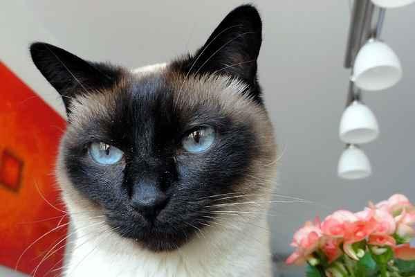 Особенности тайской породы кошек: описание характера, отличия от сиамской