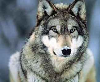 Кто такие борзые собаки: какие бывают виды таких охотничьих пород